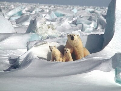 Polar bear den detection methods work less than half the time, finds BYU bear expert