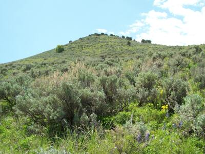 Sagebrush Ecology