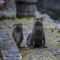 Ecology and Reintroduction of River Otters