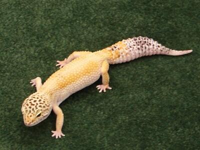 brewsky reptile.JPG