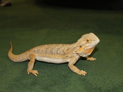 MoJo lizard.png