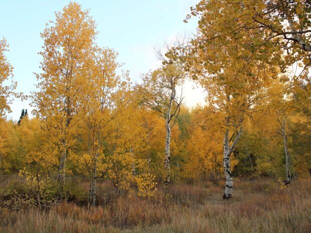 Aspen Conifer Forests