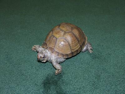Thunder the turtle.JPG