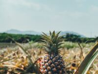 Image of a pineapple in a pineapple field