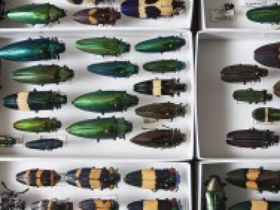 Beetles are coming to eat all our trees. Their eyes may be the key to stopping them