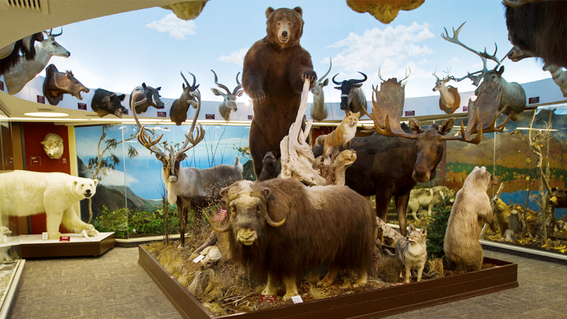 Various animals are on display at the BYU–Hawaii Museum of Natural History.