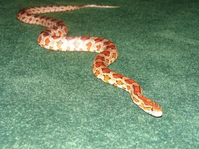 Salazar snake.png