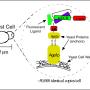 Engineering Immunotherapies