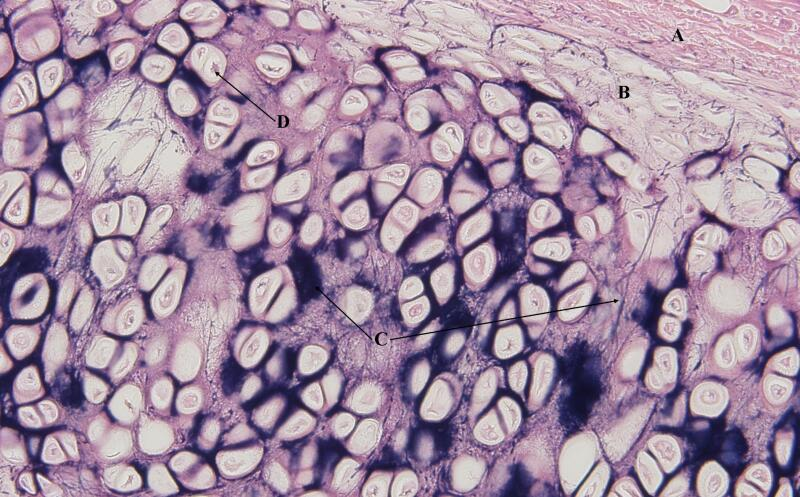 Hyaline Elastic And Fibro Cartilage