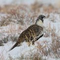 Dixie Harrow and Greater Sage-Grouse Resource Selection During Winter