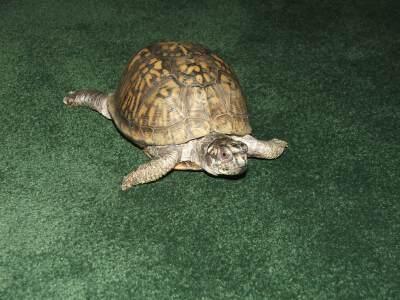 Houdini turtle.jpg