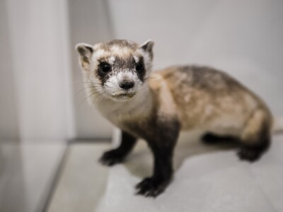 Black footed ferret.jpg