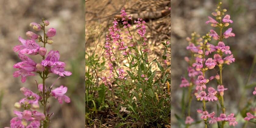 Newly discovered penstemon wildflowers