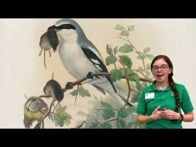 Week 6 - Loggerhead Shrike