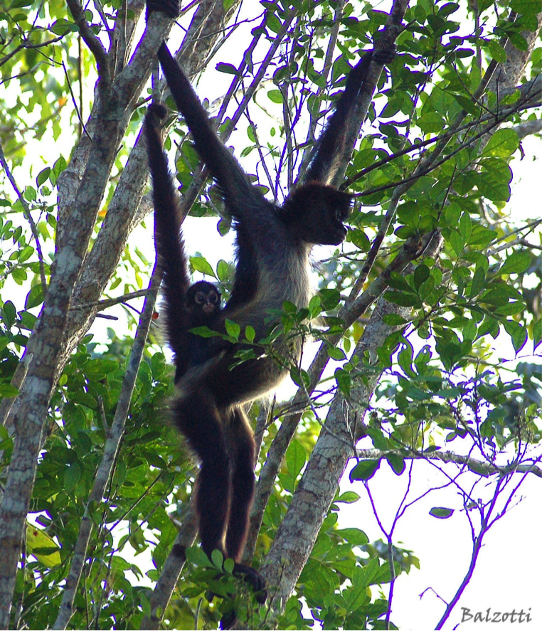 monkeys in tropical trees.png
