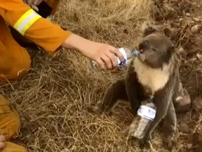 A koala bear gets water from a firefighter after the fire devastates its habitat.