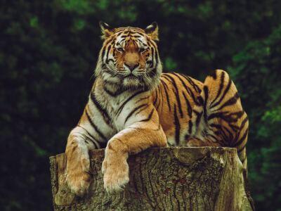 Bengal Tiger Matt Meese.jpg