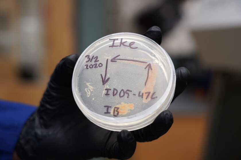 Bacterial strains have been tested on petri dishes.