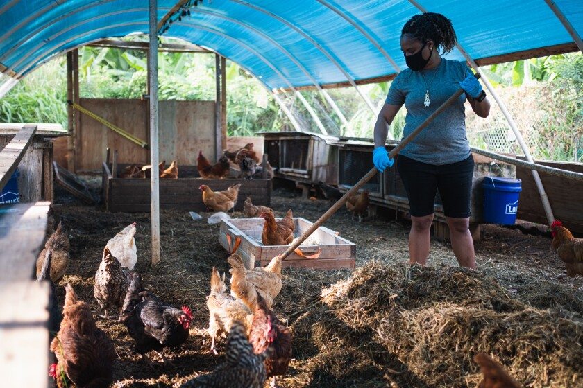 Cathy Ango working with chickens at the Sustainability Center