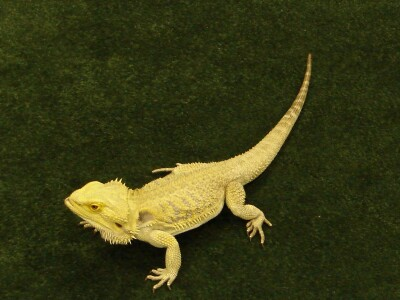 ColMustard lizard.png