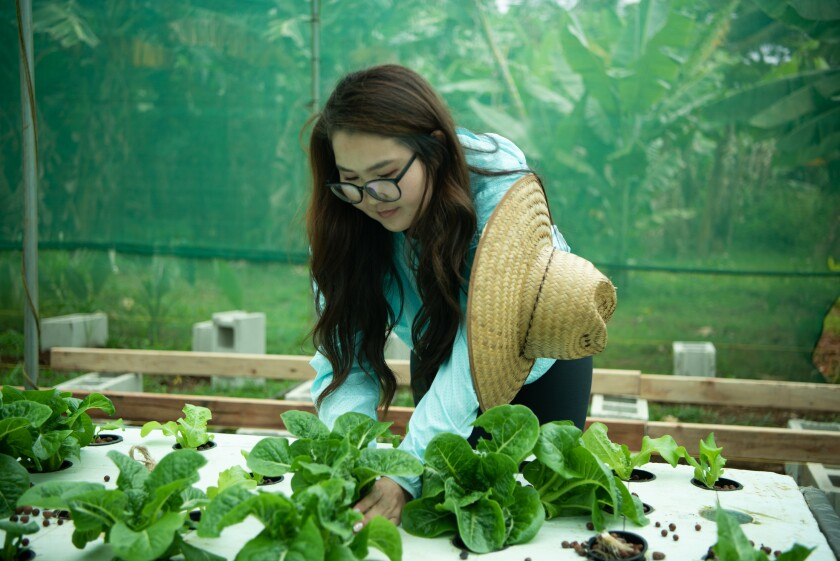 Tumursukh looking over the lettuce growing by hydroponics in a styrofoam top, while wearing glasses, a long blue shirt and a hat hanging off her shoulder and a green screen behind her.