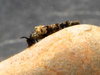Caddisfly Silk Evolution
