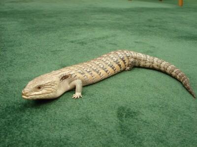 PJ the lizard.JPG