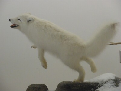 arctic fox or wolf jumping.JPG