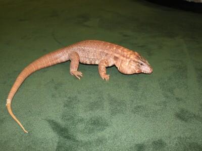 Simon reptile.JPG