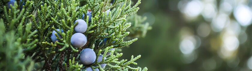blue berry plant.jpg