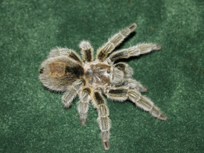 Gwen spider.JPG