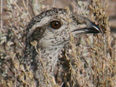 Greater Sage-Grouse Ecology