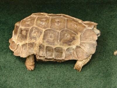 Topper tortoise.JPG