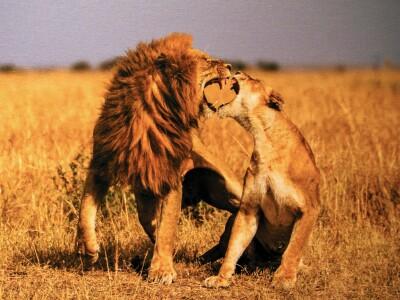 winner-lions fighting.jpg