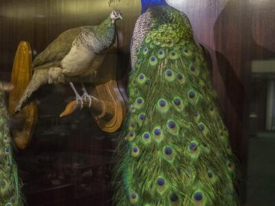 Bird-Gallery peacock.jpg