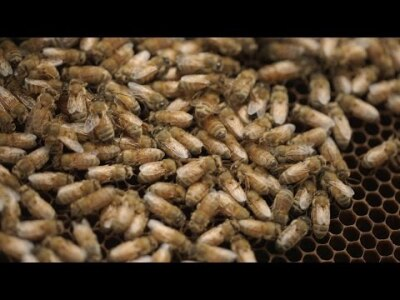 Bee Killers: Using Phages Against Deadly Honeybee Diseases