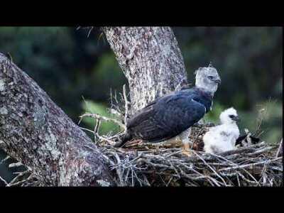 Week 13 - Harpy Eagle
