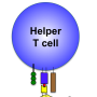 T Cell Activation and Memory