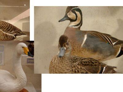 SwansGooseDucks collage.jpg