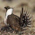 Recovery of Greater Sage-Grouse