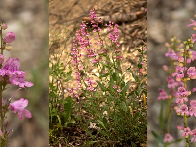 BYU professor discovers new wildflower, working to make it widely available