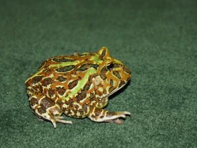 Lemon frog.jpg