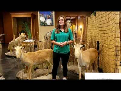 Week 3 - Saiga Antelope