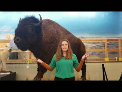 Week 6 - American Bison