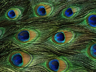 peacock tail feathers.jpg
